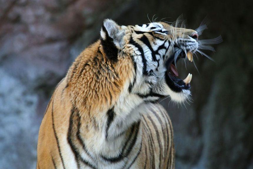 World Wildlife Day 2018 – Big Cats: Predators under threat