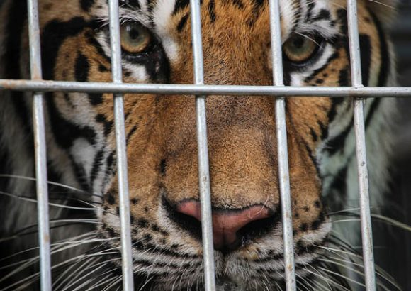 Exclusive: Illegal Tiger Trade Fed by 'Tiger Farms,' New Evidence Reveals