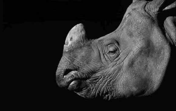 Case study – Black Business: Illegal Rhino Horn Trade Dynamics in Nhi Khe, Vietnam