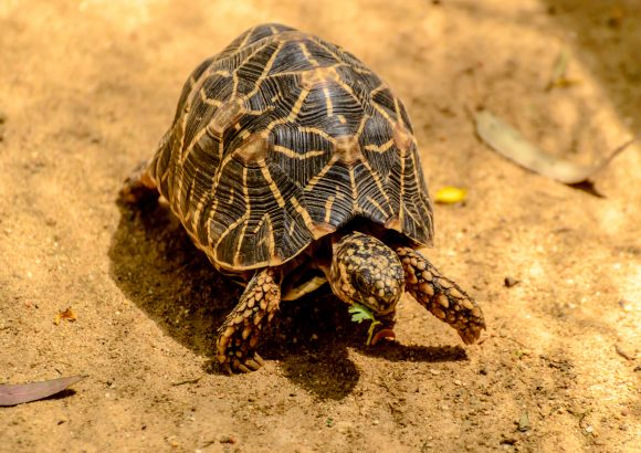 Briefing paper: The prevalence of vulnerable South Asian freshwater turtles in the illegal trade
