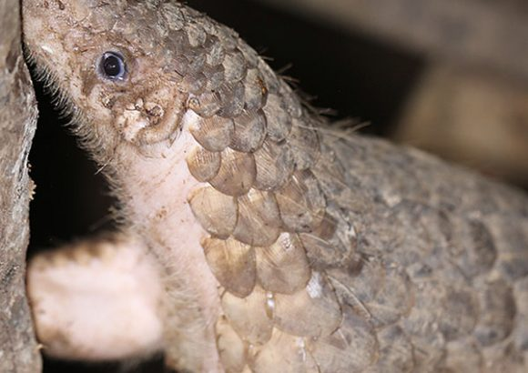 Illegal pangolin trade may have played a part in coronavirus outbreak