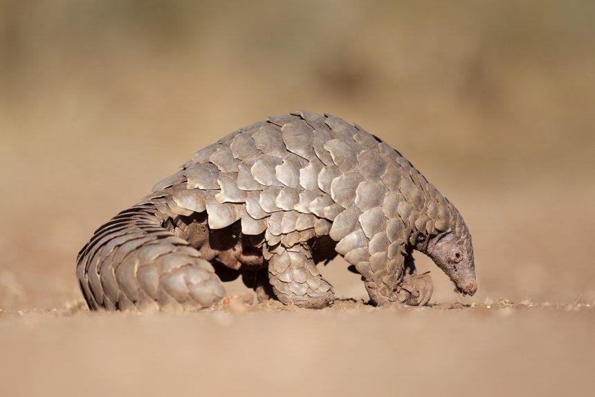 No rest for pangolins: Trafficking rates spike while crime displaces to new regions