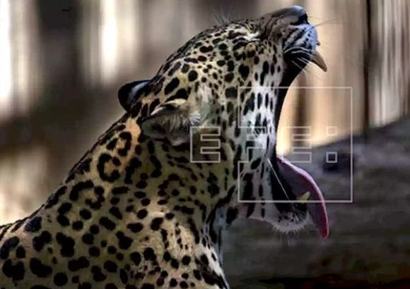 China remains leading black market for South American jaguars' body parts