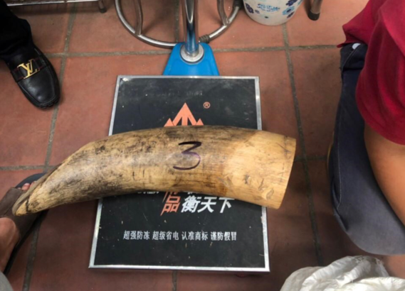 Vietnamese Environmental Police seize 207 kg of ivory in Hanoi