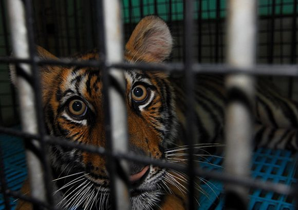 China must lead global effort against tiger trade