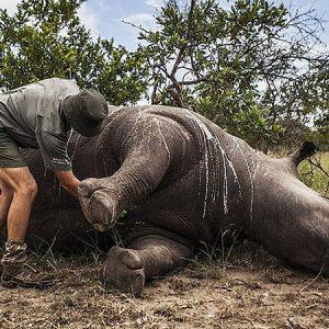 Lässt sich mit gefälschtem Nashorn die Wilderei stoppen?