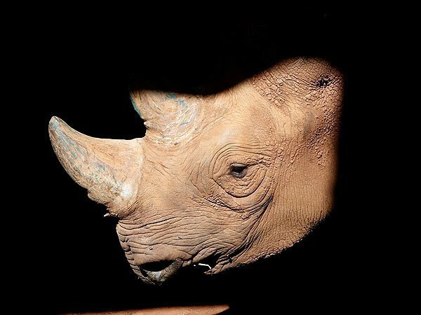Scientists Created Fake Rhino Horn. But Should We Use It?