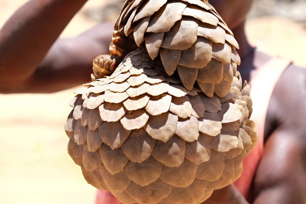 Pangolin in Africa - Pangolin Crisis Fund Wildlife Justice Commission