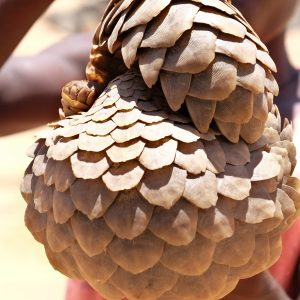 The Pangolin Crisis Fund and the Wildlife Justice Commission join forces to fight pangolin trafficking