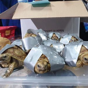 1,500 Turtles and Tortoises Found Stuffed Into Luggage at Manila Airport