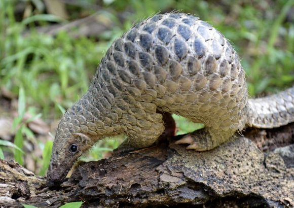 Singapore among top six countries linked to smuggling of pangolin scales