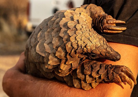 Covid-19: le colpe del pangolino, l'animale più trafficato al mondo