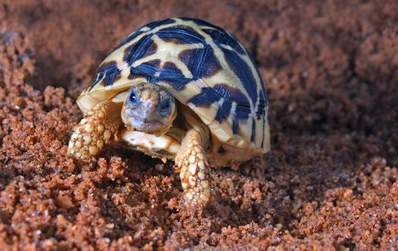 Using intelligence to tackle the criminal elements of the illegal trade of Indian Star tortoises in Asia