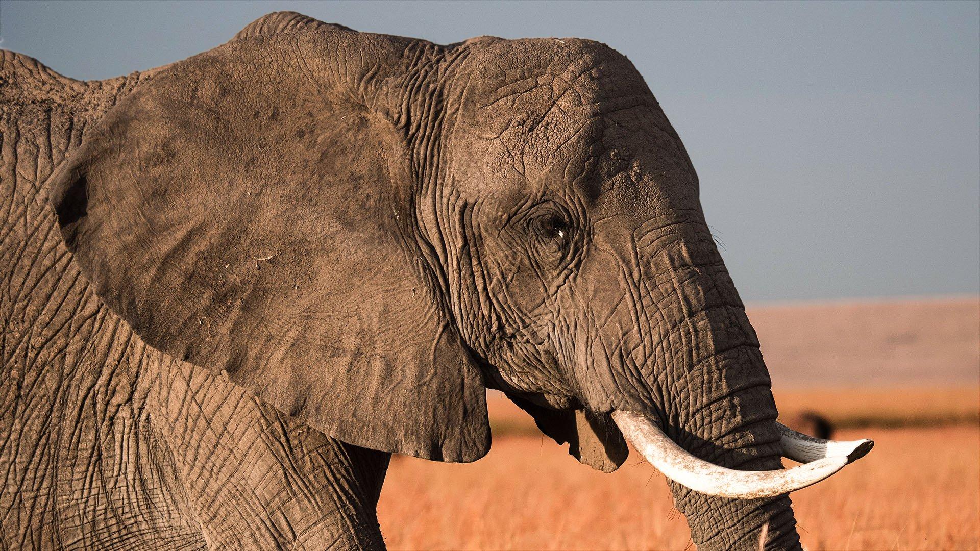 ivory trafficking asia