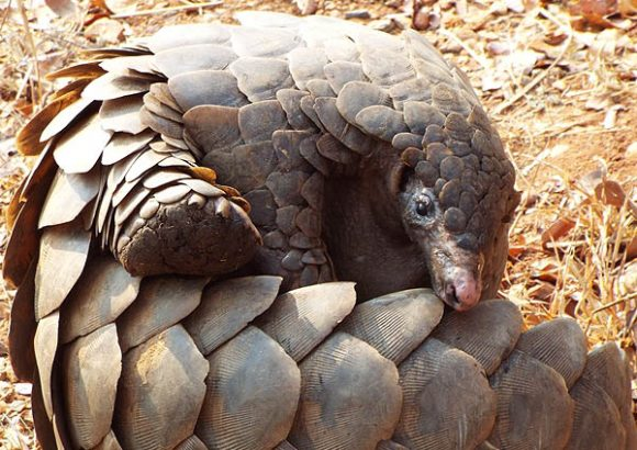 Pangolin trade highlights loopholes in rules to prevent spread of animal viruses
