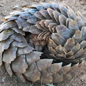 World Pangolin Day 2021: The continuing threat of pangolin trafficking