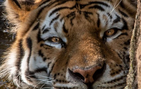 Using intelligence analysis to save tigers in Southeast Asia